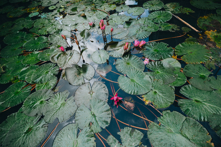 beautiful lotus flowers and green leaves in pond, Hue, Vietnam