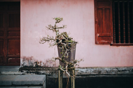 close-up view of bonsai tree near building in Hue, Vietnam