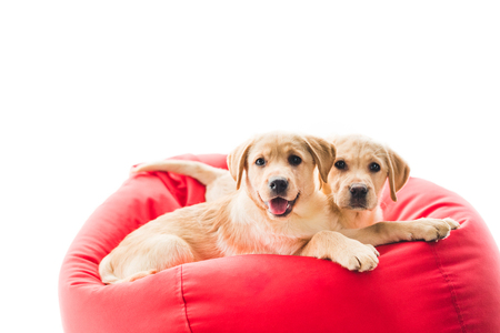 Two beige puppies looking at camera and lying on bag chair isolated on white Stock Photo