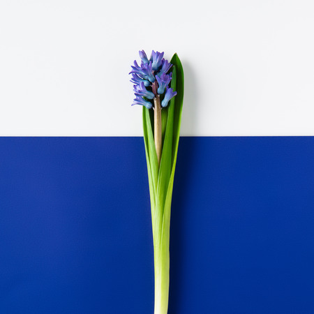 top view of beautiful hyacinth flowers on halved blue and white surface Foto de archivo - 111736654