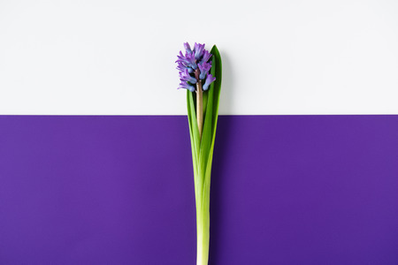 top view of hyacinth flowers on halved purple and white surface Foto de archivo - 111481402