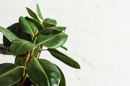 Rubber fig Ficus elastica plant with green leaves by white wall 스톡 콘텐츠
