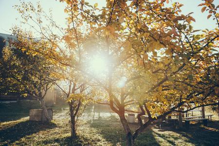 Sun shining through autumnal golden tree in garden, Carpathians, Ukraine