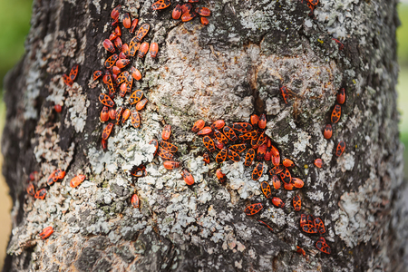 Close up view of colony of firebugs on old tree trunk Stock Photo