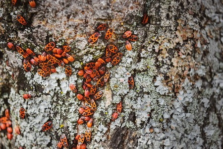 full frame image of tree trunk with colony of firebugs Stock Photo