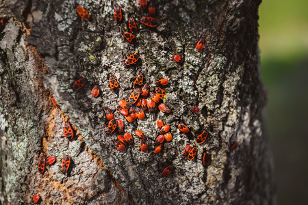 selective focus of colony of firebugs on old tree trunk Stock Photo