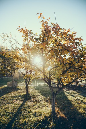 sun shining through autumnal golden tree in garden in Vorokhta, Carpathians, Ukraine