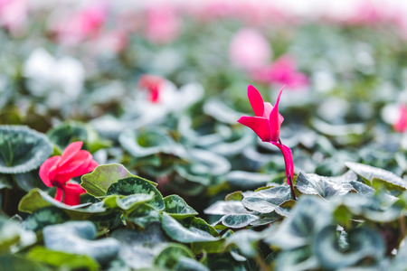 Pink Cyclamen flower among green leaves in greenhouse