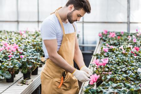 Handsome gardener planting Cyclamen flowers in greenhouse 写真素材