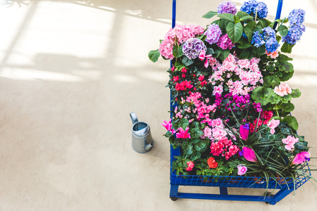 Cart with blooming colorful flowers in pots
