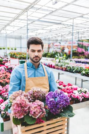 Handsome gardener holding hydrangea flowers in greenhouse 写真素材