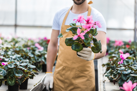 Close-up view of pot with Cyclamen flowers in male hands 版權商用圖片
