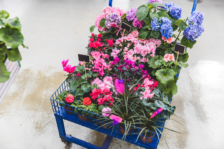 Metal cart with blooming flowers in pots with empty tags Фото со стока