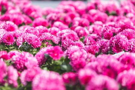 Pink blooming chrysanthemum flowers in nursery