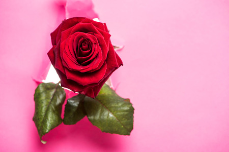 one red rose with green leaves sticking up from hole in pink paper