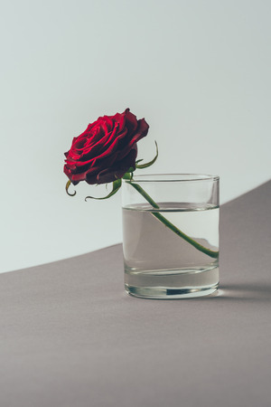 red rose in glass of water on gray surface Stock Photo