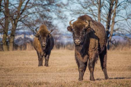 Two bisons looking at camera while grazing on dry grass, naliboki, belarus