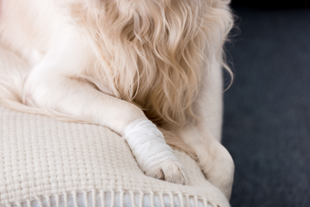 Partial view of dog with a bandaged paw Stock Photo