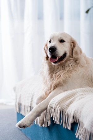 Happy dog with tongue stick out lying on bed with blue pillows