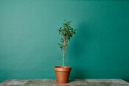 Plant in flowerpot on table on green background