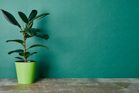 Ficus plant in flowerpot on green background