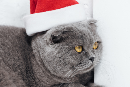 close up of cute scottish fold cat in christmas santa hat on white