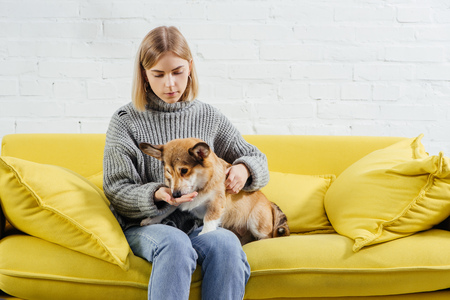 beautiful woman sitting on sofa and giving treat cute pembroke welsh corgi dog