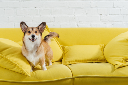 cute pembroke welsh corgi on sofa with white background