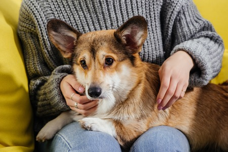 cropped view of woman sitting on sofa and stroking adorable pembroke welsh corgi dog