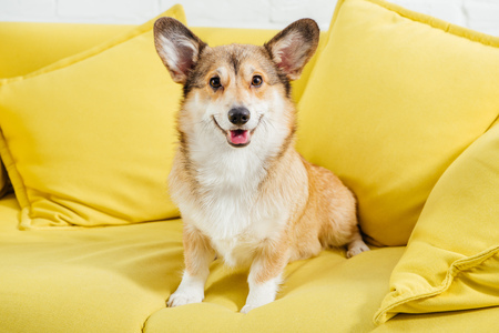 cute welsh corgi dog sitting on yellow sofa and looking at camera