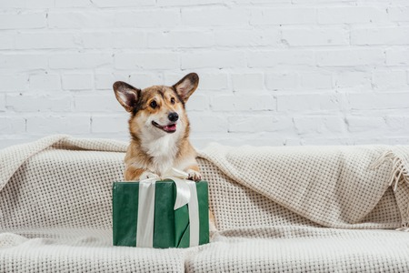 cute pembroke welsh corgi dog on sofa with green gift