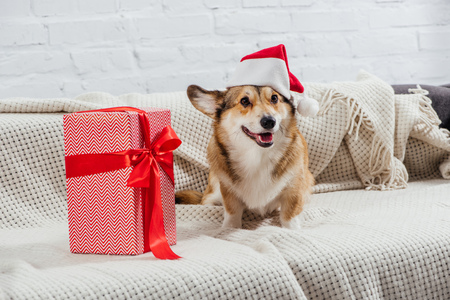pembroke welsh corgi in santa hat with christmas present on sofa 스톡 콘텐츠