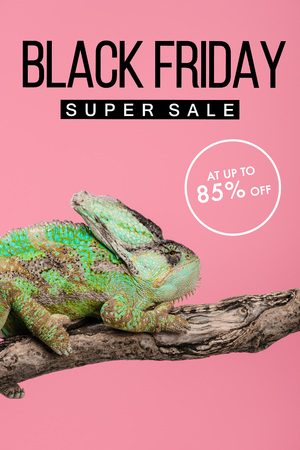 beautiful exotic chameleon sitting on tree branch isolated on pink with black friday super sale