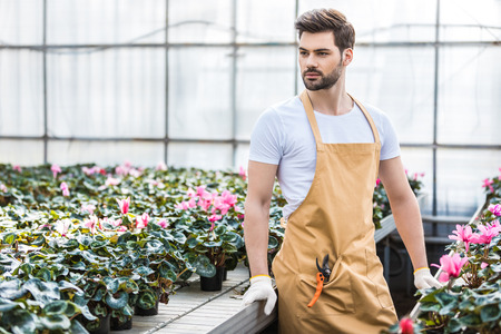 Young male gardener planting Cyclamen flowers in glasshouse