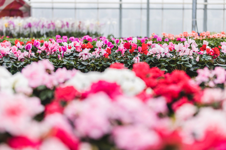 Pink and white Cyclamen flowers nursery in greenhouse