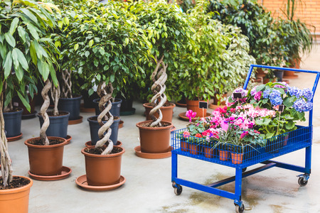 Metal cart with blooming flowers by ficus trees in pots