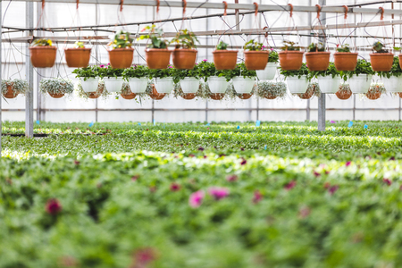 Pots with blooming flowers and plants in greenhouse Фото со стока - 112538539