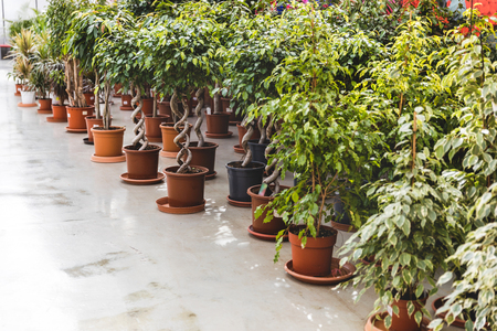 Green plants and ficus in pots in greenhouse Фото со стока