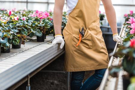 Close-up view of male gardener among Cyclamen flowers in greenhouse 版權商用圖片
