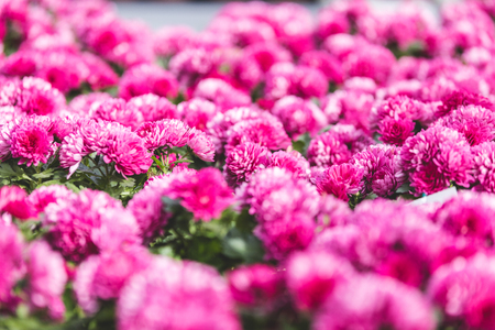 Pink blooming chrysanthemum flowers in nursery