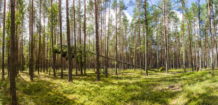 green trees and vegetation in beautiful forest, naliboki forest, belarus 스톡 콘텐츠