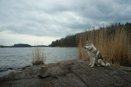 Malamute dog standing on lake rocky shore against water, Karelian Isthmus, Russian Federation Stock Photo