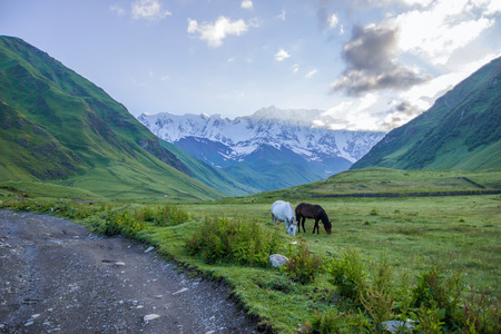 Beautiful white and black horses grazing on green pasture in mountain valley, Georgia, Caucasus