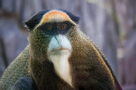 Portrait of funny golden monkey looking away, Vietnam, Dalat zoo