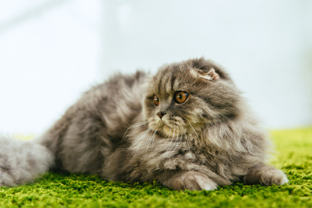 close up view of adorable british longhair cat laying on floor Stock Photo