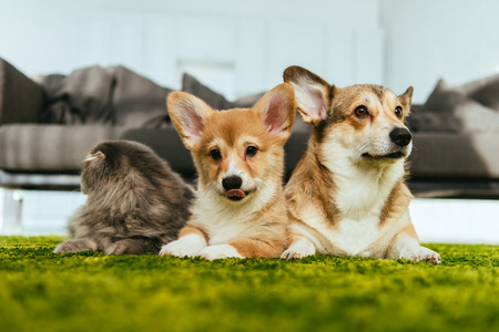 adorable welsh corgi dogs and british longhair cat on floor at home