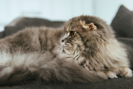 adorable british longhair cat laying on sofa at home