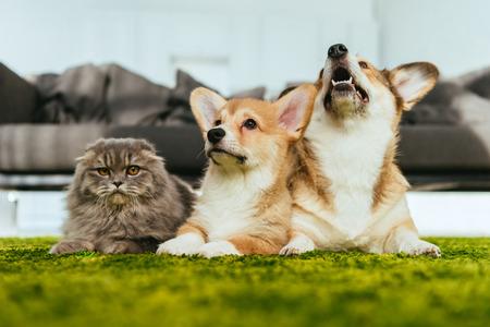 Lindos perros Welsh Corgi y gato británico de pelo largo en el piso en casa