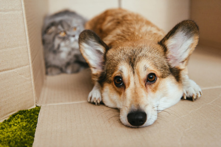 close up view of cute welsh corgi pembroke laying in cardboard box near with british longhair cat behind Stock fotó