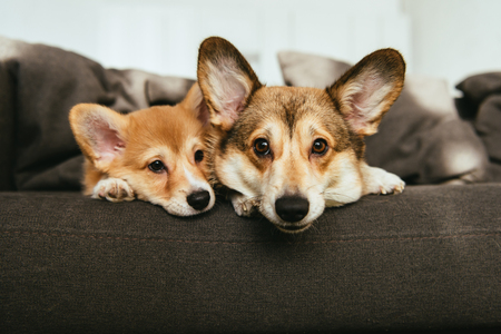 portrait of two adorable welsh corgi dogs laying on sofa at home